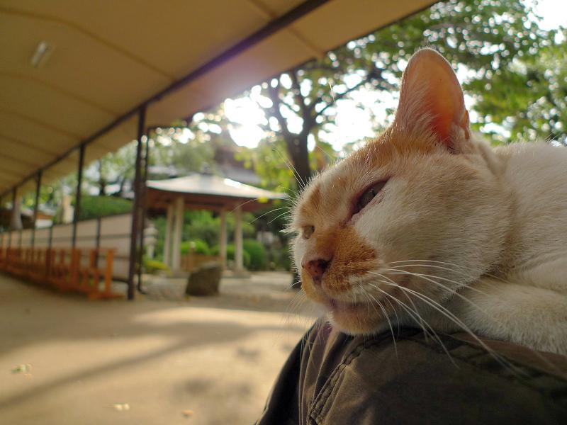 私の膝上でマッタリしてる逆光ネコ