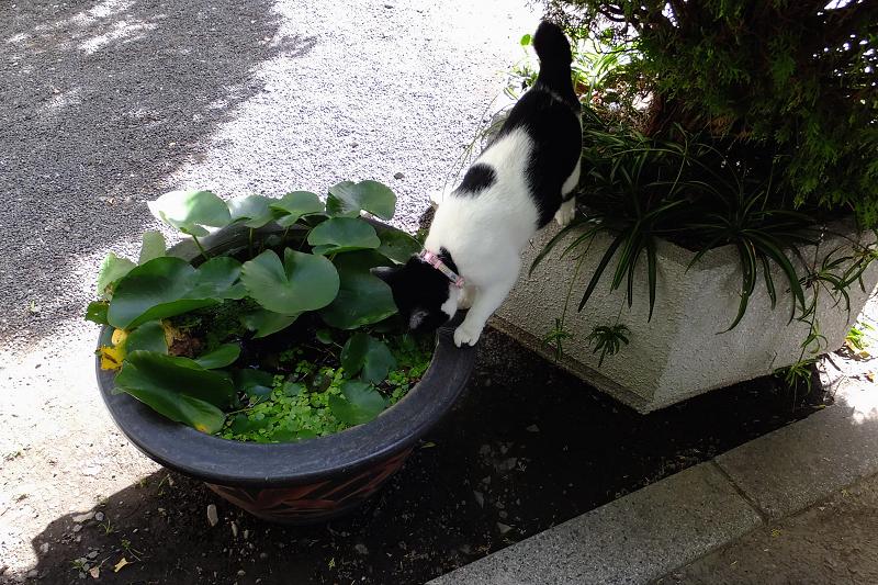 水鉢を覗き込んでるネコ