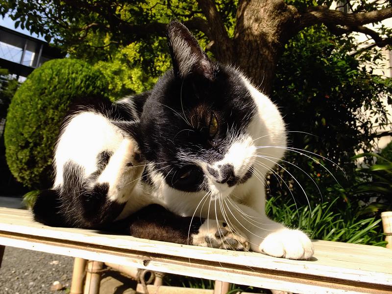 耳を掻いてるネコ