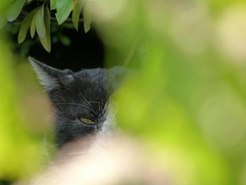 茂みから視線のネコ