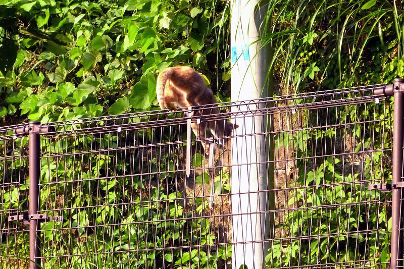 フェンスを乗り越えるネコ