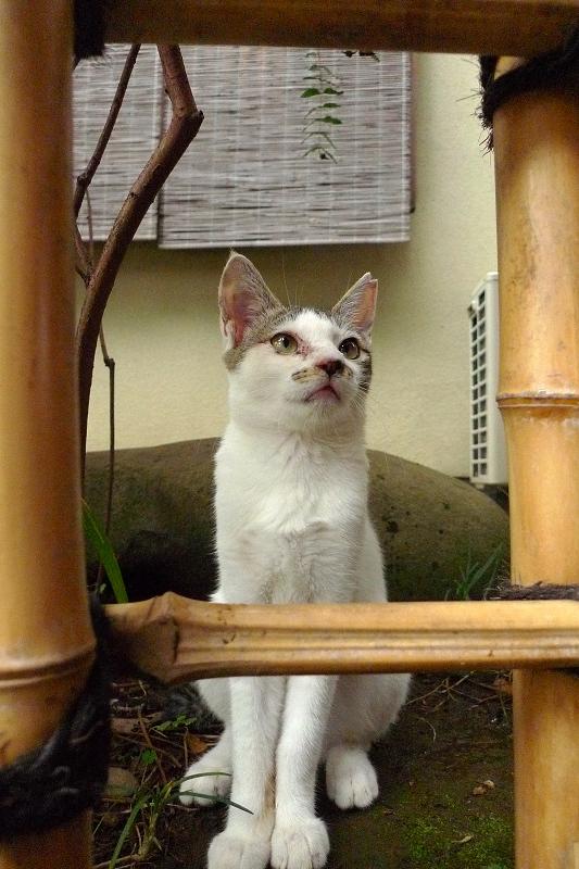 竹垣越しにネズミを見ている仔猫