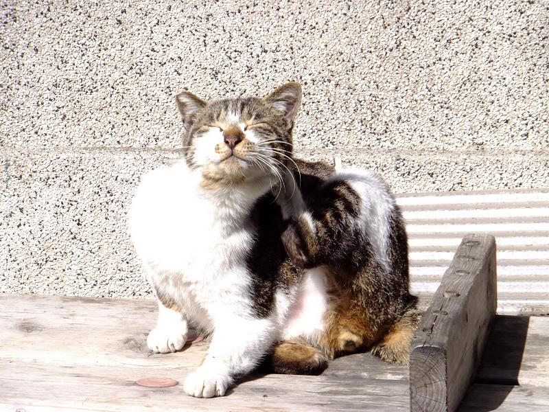 日射しを受けてカキカキするネコ