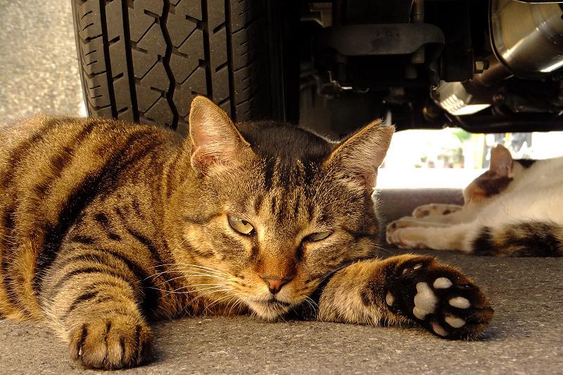 タイヤと車の下で寝てるネコ