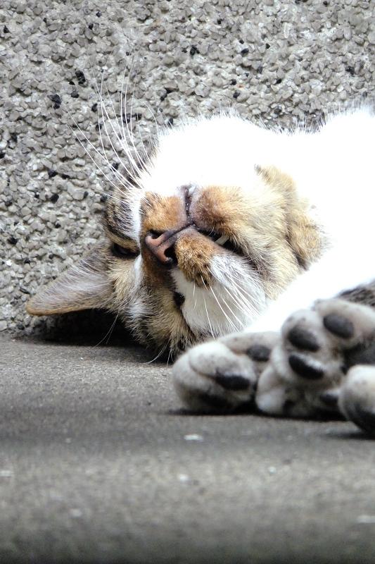 仰向けで口を開けて寝てるネコ