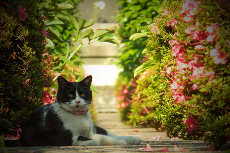 ツツジ通路のネコ