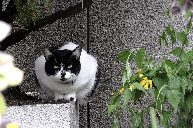 プランターに乗って睨むネコ
