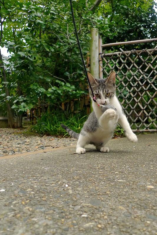 体を起こしてネズミをくわえる仔猫