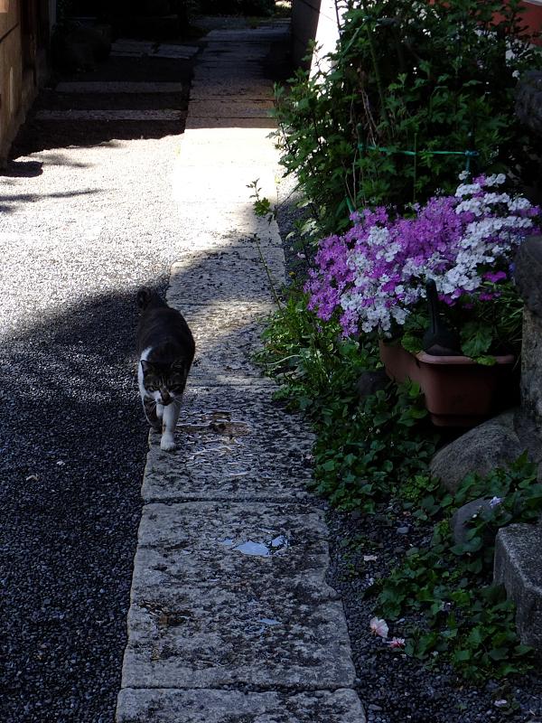 石道を歩くネコ