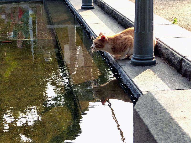見つめる顔が水面に映るネコ