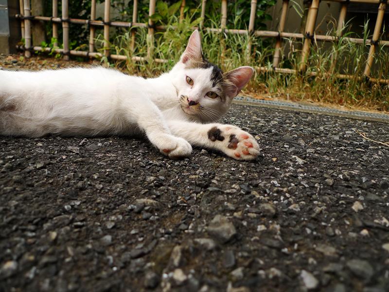 左を伸ばして横になってる仔猫
