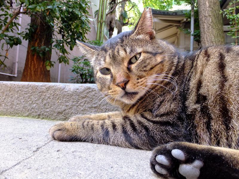 段差で腹ばってカメラを見てるネコ