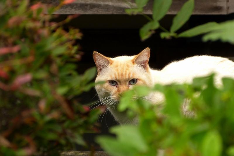 葉っぱの陰から見てるネコ