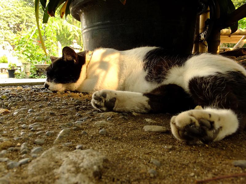 夕日を受けて寝てるネコ