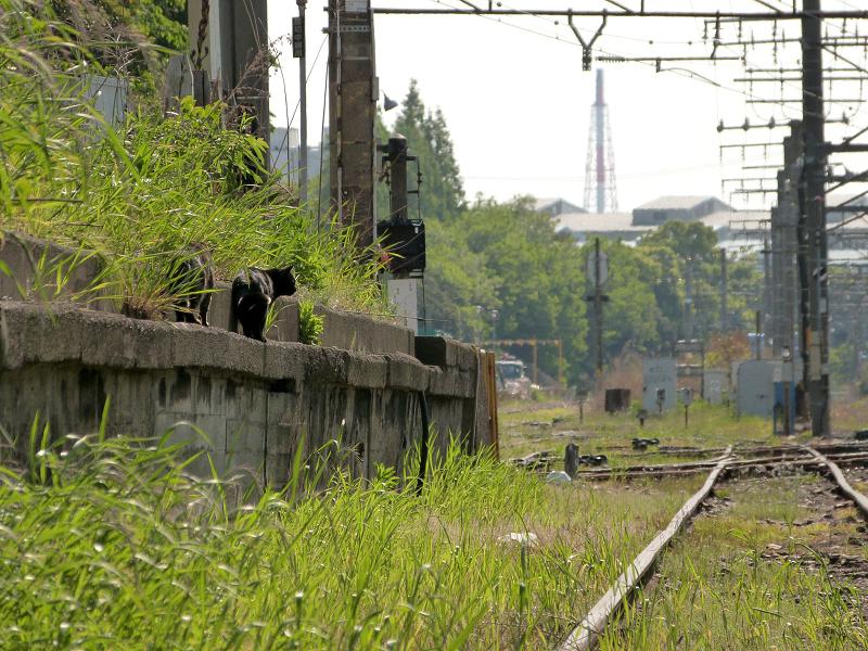 ホームから線路を見るネコ