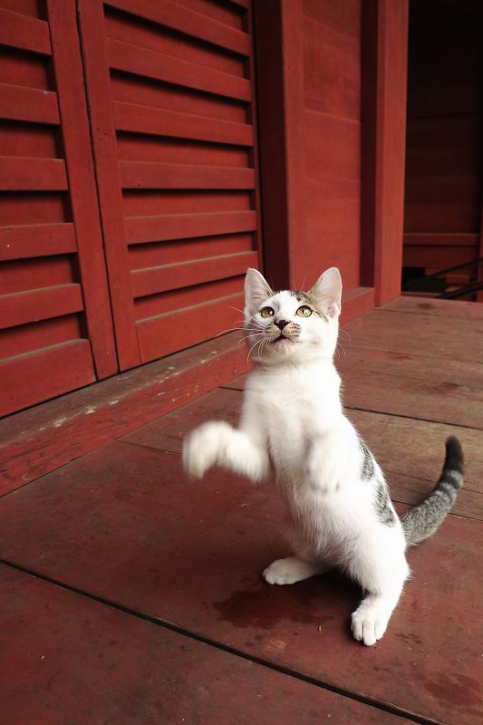 立ち上がり上を見つめる仔猫