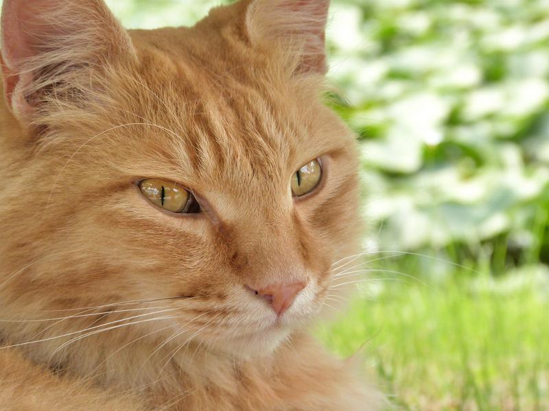 背景が蓮池のネコ