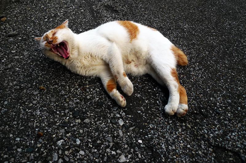 横になって欠伸をしてるネコ