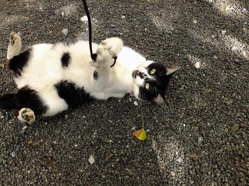 玉砂利の上でゴム紐で遊ぶネコ