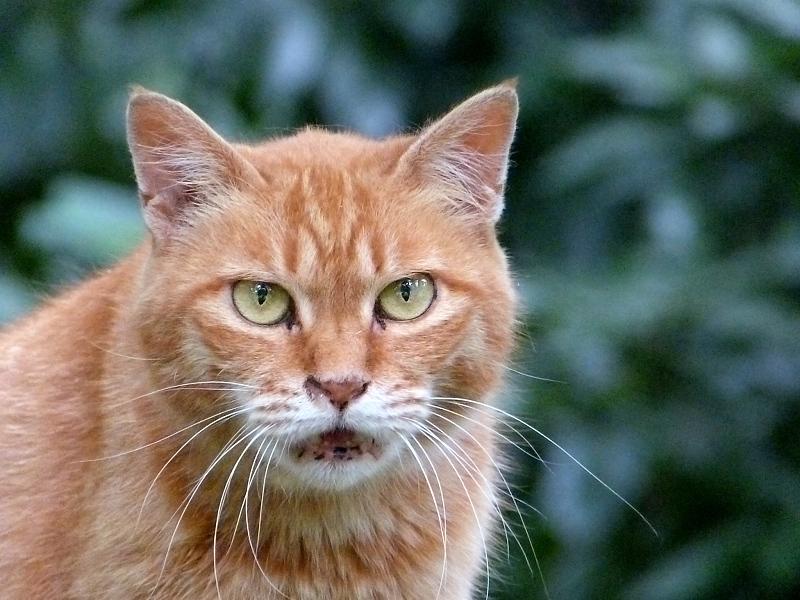 茂みから鳴いてるネコ