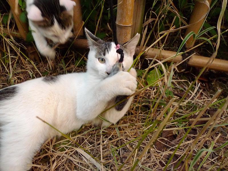 竹垣草むらでネズミを捕まえる仔猫