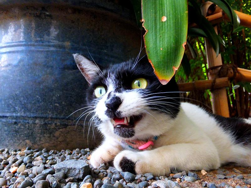 目を見開いて鳴いてるネコ