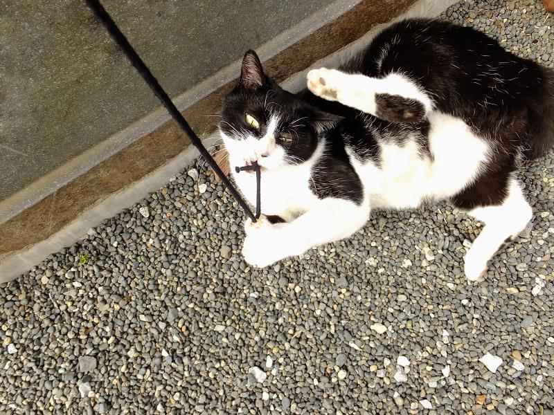 ゴム紐に夢中な黒白猫
