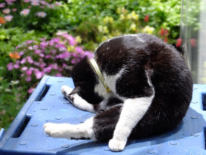 前屈で毛繕いのネコ