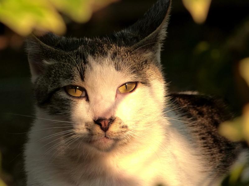 夕焼けを受けてるネコ