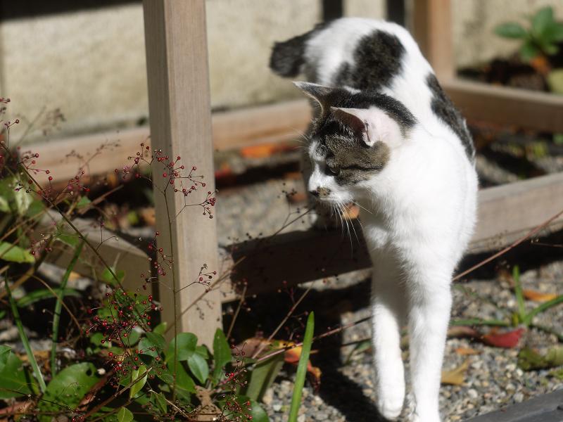 爆蘭の実を見てるネコ