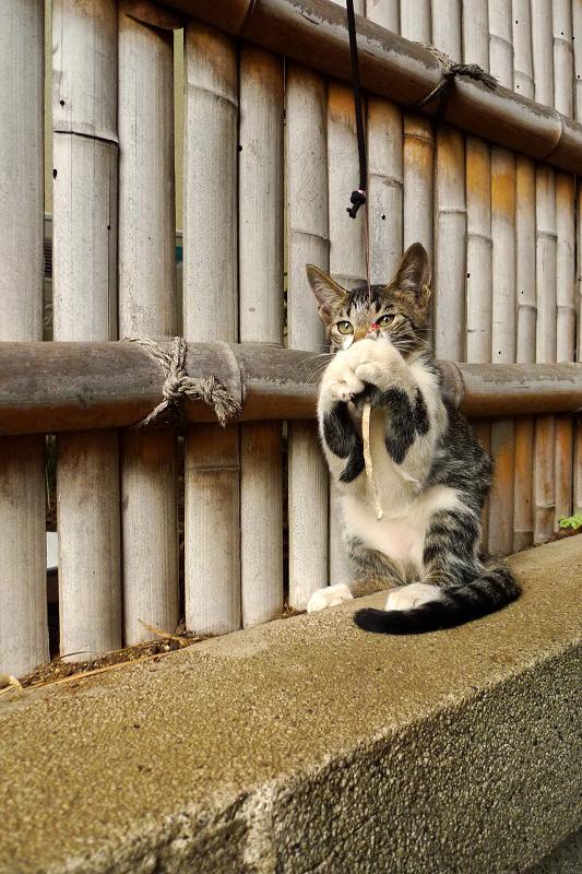 竹塀の前でネズミのオモチャで遊ぶ仔猫