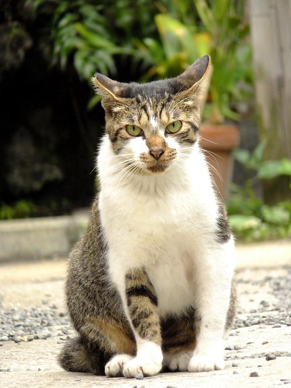 耳をブーメラン形にするネコ