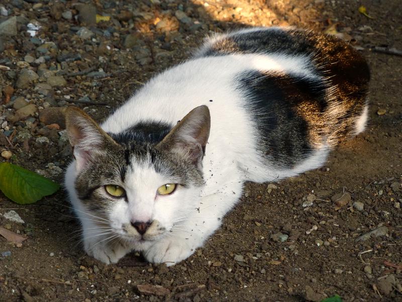 土の上に腹ばって見上げるネコ