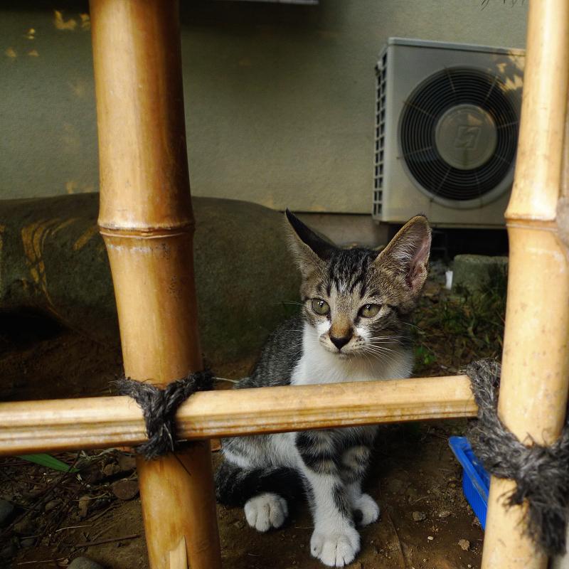 竹柵の向こうの仔猫