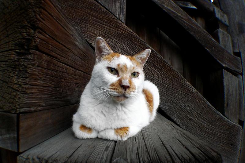 古寺の階段で香箱のネコ