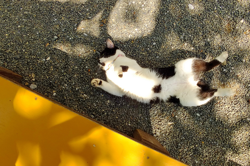 陽だまりで仰向けに伸びをするネコ