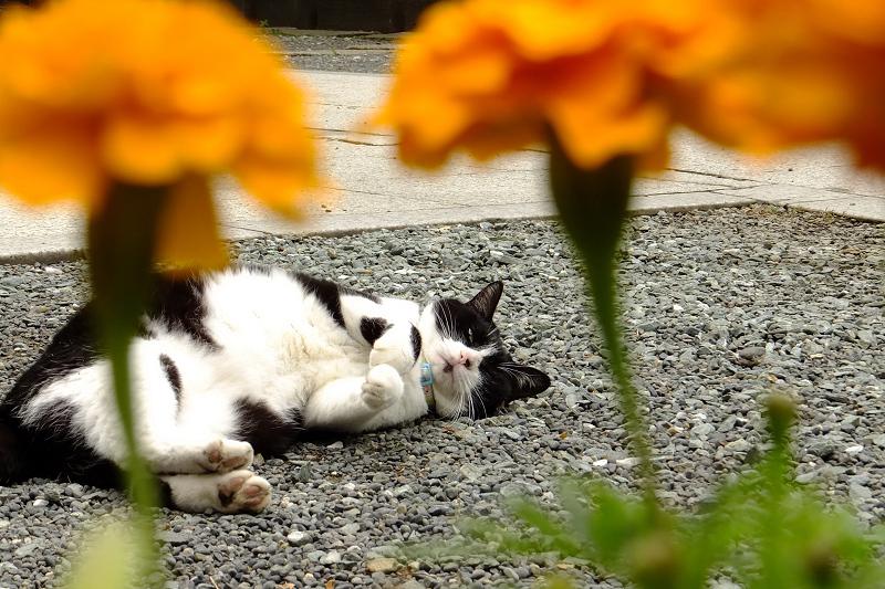 マリーゴールドと境内のネコ