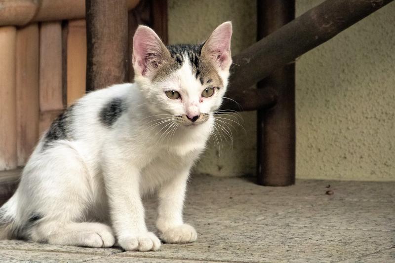 竹柵の手前の仔猫