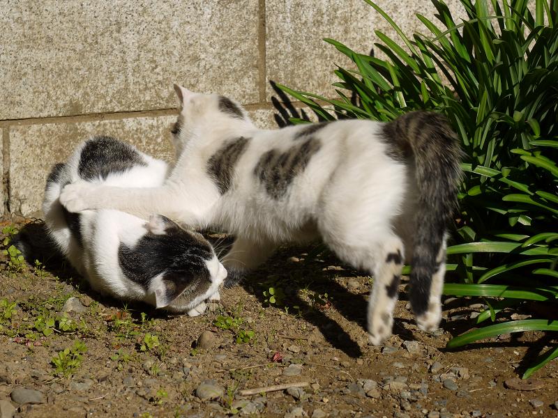 壁の前で遊ぶネコ