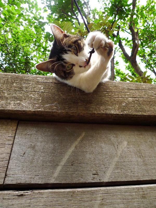 身を乗りだしてゴム紐を捕まえるネコ