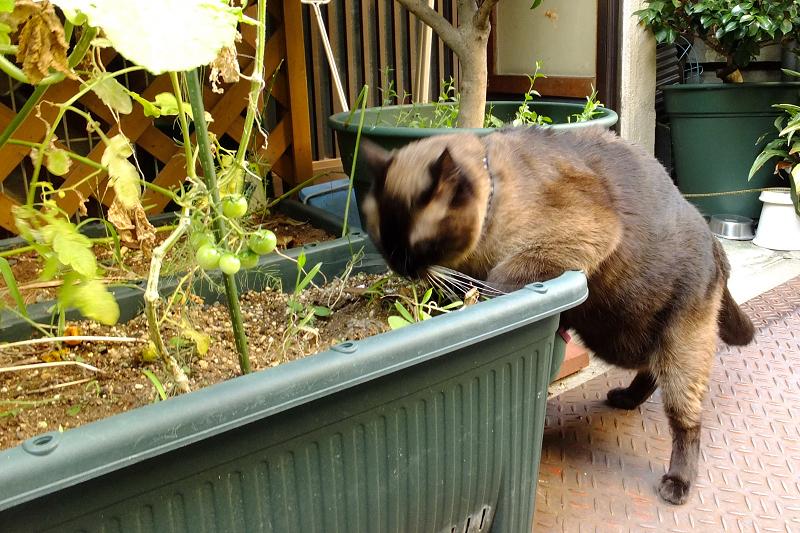 プランターで草を食べてるネコ