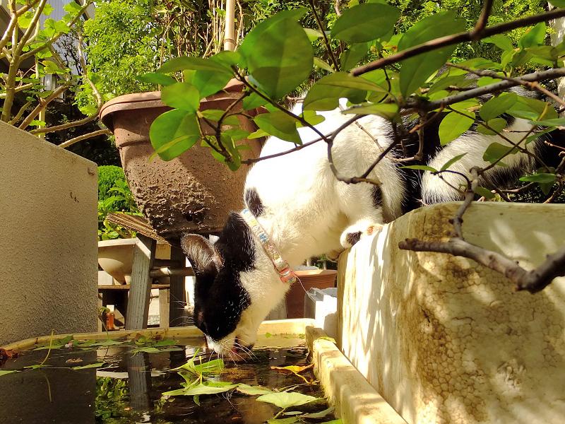 体を下向きにして水を飲むネコ