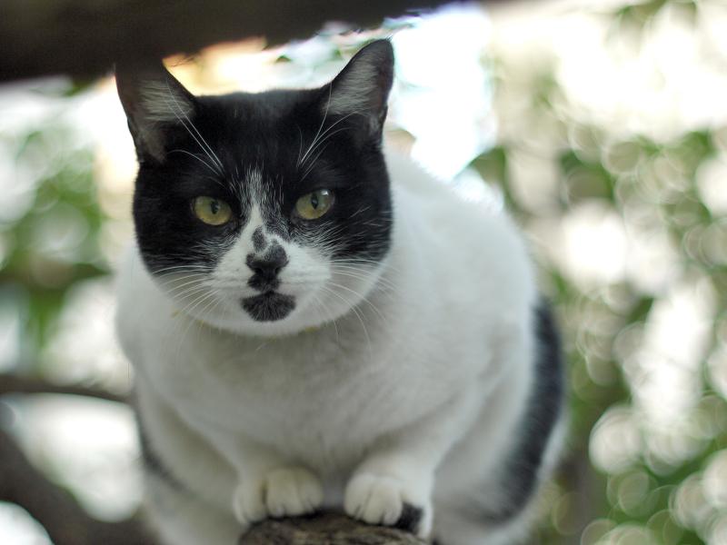 クスノキに登って枝に座るネコ