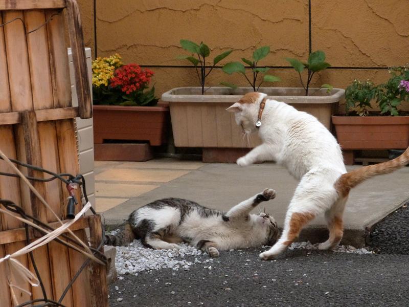 いきなりの喧嘩ネコ