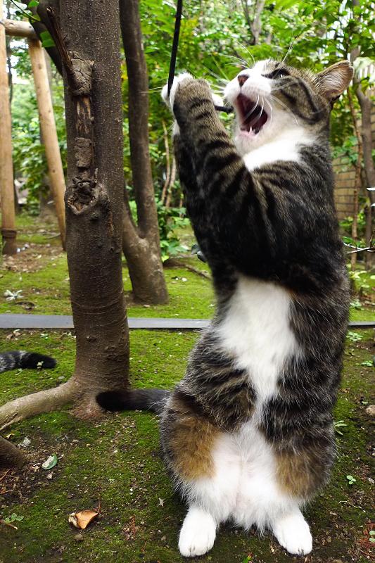 立ち上がってゴム紐を捕まえるネコ