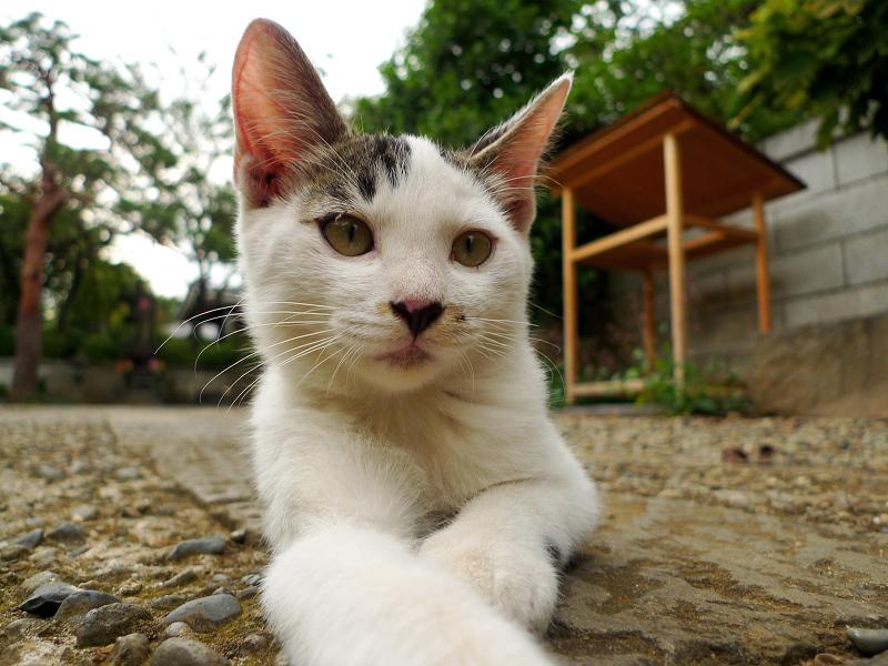参道で腹ばう仔猫
