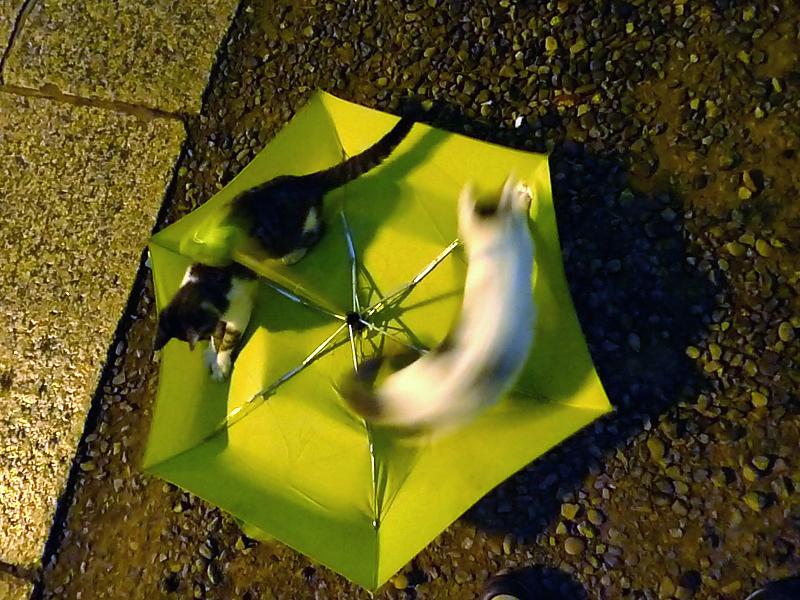 折りたたみ傘の上を走るネコ