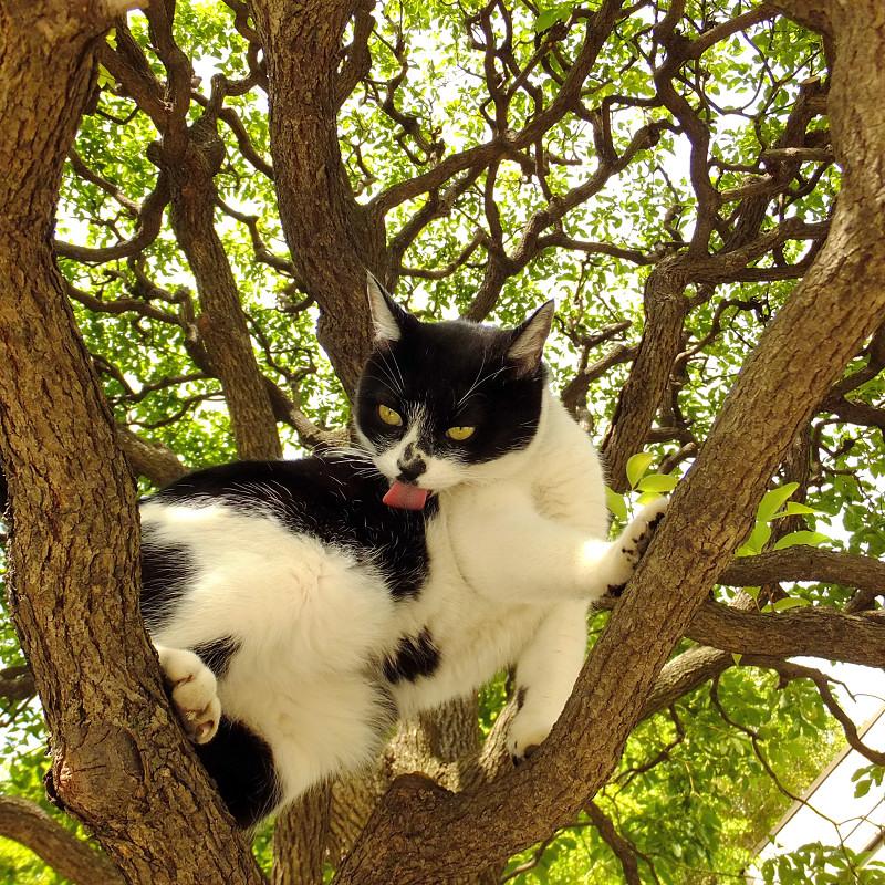 クスノキの股で毛繕いのネコ