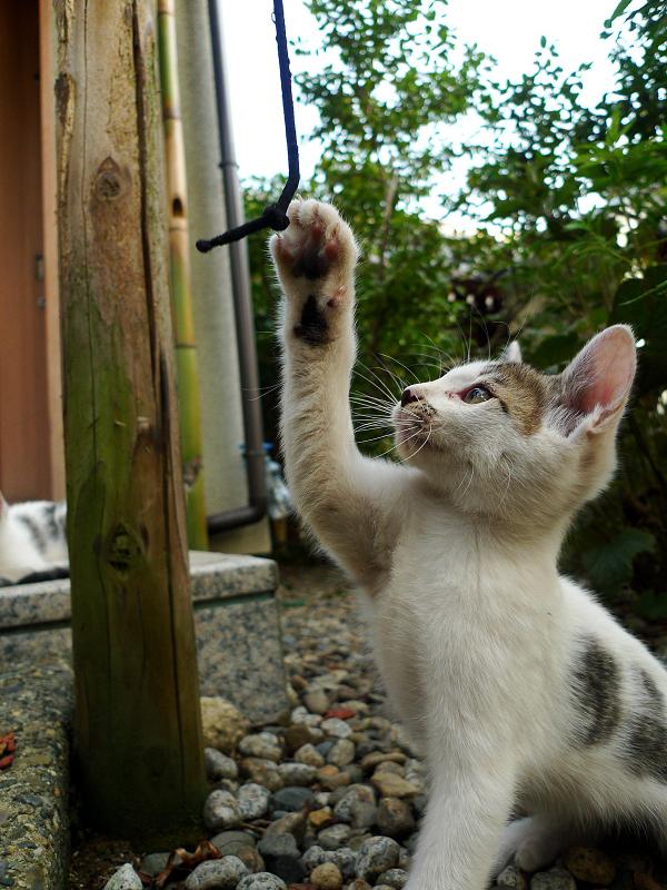 ゴム紐を触ろうとする仔猫