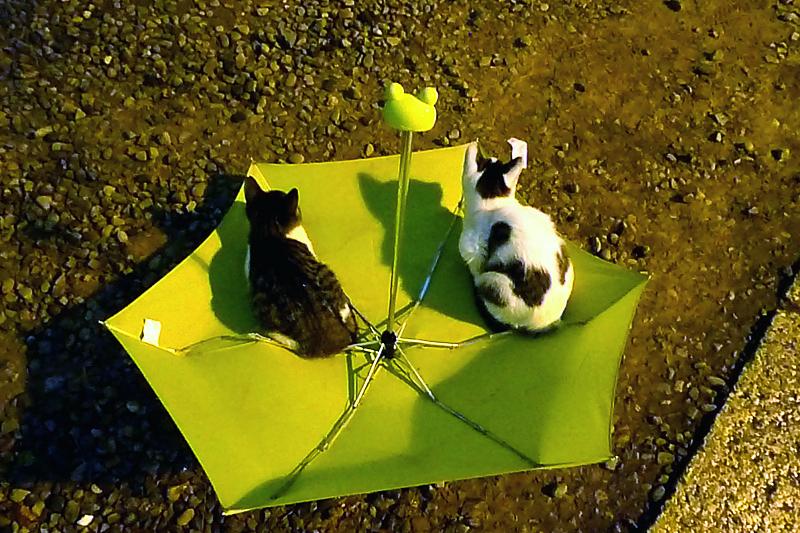 折りたたみ傘に座ってるネコ